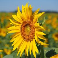 Samanta Floarea soarelui PERFORMER - 75.000 seminte