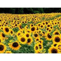 Samanta Floarea soarelui FD18E41 - 75.000 seminte